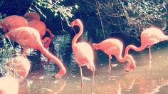 Photo ConchettaT Jacksonville Zoo, Flamingo, Flowers, Animals, Flamingo Bird, Animales, Animaux, Flamingos, Animal