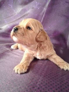 Buff,apricot,red, and white, Cockapoo Puppies for sale in Florida can cost double what they should|Cockapoos for sale Now!