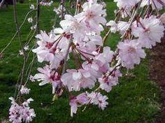 Prunus pendula 'Pendula Rosea' - Weeping Cheery Tree