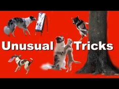 The most amazing dog tricks! An amazing video by Kikopup. She uses positive reinforcement, and she is such a gem! I bought a clicker which i am training my yorkiepoodle puppy. The clicker is an amazing tool, and this video is evidence of what patience, a clicker, and love can do.