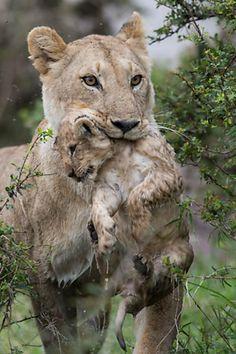 Fotógrafo flagra leoa atravessando rio com filhote na boca. Foto: Kyriakos Kaziras/BBC