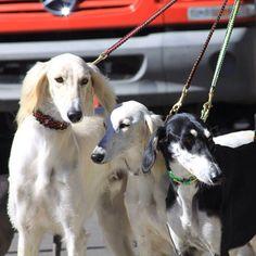 Salatino´s Saluki´s #Saluki #Salatino #Dogs #dog #perro #cao #cachorro #animals #animales #animais #cute #love #baby