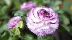 10 fleurs pour réussir vos massifs et jardinières de printemps