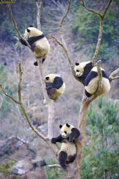 Panda harvesting season begins in early August and last until late November. This particular specie of panda tree, called Ailuropoda melanoleuca, is native to Southwestern China.