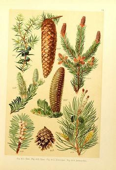 Pine 1900