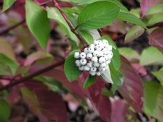 red osier dogwood cornus sericea stolonifera | These photos by http://www.nwplants.com are licensed under a Creative ...