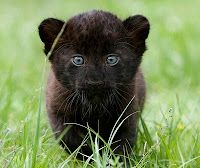 Baby panther. They too grow up.