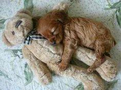 Aww a puppy snuggling a teddy bear... way too cute...