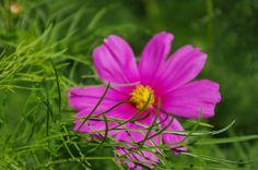 pink cosmos, hiding
