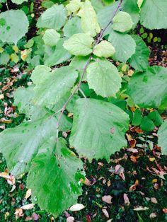 Corylus avellana - euroopan pähkinäpensas