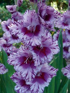 Gladiolus 'Passos'                                                       …                                                                                                                                                     More