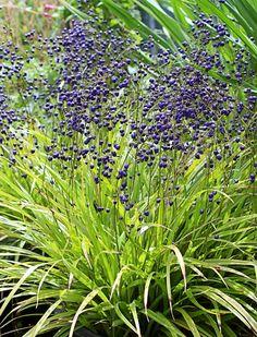 Dianella intermedia syn Dianella nigra Turutu Vivid deep purple shiny berries…