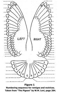 Owl Wing Anatomy - inspiration for crochet pattern - - Eagle Feathers, Bird Feathers, Owl Wings, Wings Diy, Eagle Wings, Wing Anatomy, Paper Art, Paper Crafts, Wings Drawing