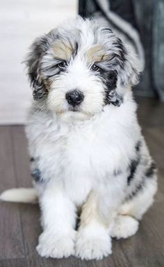Beauceron Dog, Bernedoodle Puppy, Cute Dogs And Puppies, Baby Dogs, Doggies, Cute Baby Animals, Animals And Pets, Shiba Inu, Bernadoodle