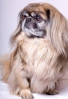 Pekingese Temperament  What's Good About 'Em,  What's Bad About 'Em - this one looks like my little Bubster.