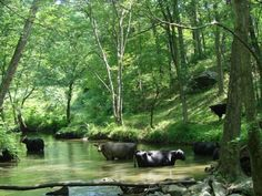 Cows wading in Goose Creek, Fauquier County, Virginia