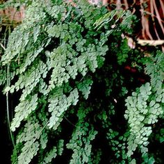 Remedy of The Day: Maidenhair Fern. Also antibacterial antifungal and used to treat dandruff and candida #herbs #remedieshttp://www.frannsalthealth.com/blog/maidenhair-fern-health-benefits/