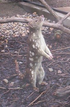 Tiger quoll - Wikipedia, the free encyclopedia