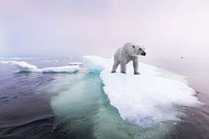 Polar bears are the iconic marine mammal of the far north, found in Alaska, Canada, Greenland, Norway's Svalbard Archipelago, and Russia. Polar bears typically use sea ice as a platform for hunting their favorite prey: nice fat seals. But as Arctic summer sea ice diminishes, some polar bear …