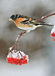 Pěnkava jíkavec - Pěnkava jíkavec (Fringilla montifringilla, také se mu říká jíkavec severní) je poměrně plachý pták, který běžně hnízdí ve Skandinávii. Sdružuje se v hejnech. Živí se semeny, v zimě nepohrdne bukvicemi a jinými bobulemi Sketching, Animals, Models, Finches, Templates, Animales, Animaux, Animal, Animais