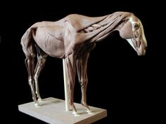 DeviantArt: More Artists Like Horse anatomy: Surface muscles by weird-one Horse Anatomy, Animal Anatomy, Anatomy Art, Horse Sculpture, Animal Sculptures, Abstract Sculpture, Horse Drawings, Animal Drawings, Cool Drawings