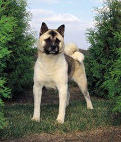 """akita for """"the next day"""" Akita Puppies, Akita Dog, Dogs And Puppies, Loyal Dog Breeds, Loyal Dogs, Japanese Akita, Japanese Dogs, American Akita, English Mastiff"""