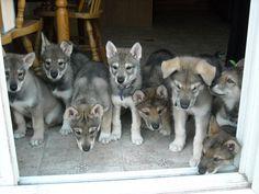 tamaskan puppies wantwantwantwantwantwantwantwantwantwant