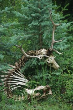 Still intact deer skeleton! What are the odds. Still intact deer skeleton! What are the odds. Animal Skeletons, Animal Skulls, Growth And Decay, Animal Bones, Moose Animal, Tier Fotos, Antlers, Hunting, Creatures