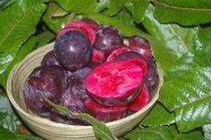 Davidson Plum (Davidsonia pruriens), native to Australian rainforest, fruits grow out of truck of tree