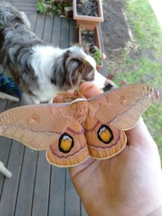 [No ID needed] My favourite time of the year is when Emperor Gum Moths come out. This pretty boy was very photogenic. Beautiful Bugs, Beautiful Butterflies, Cute Moth, Emperor Moth, Moon Moth, Butterfly Species, Moth Tattoo, Mothman, Drawing Skills