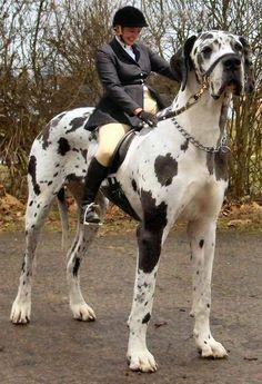 1000 id es sur le th me le plus grand chien du monde sur for Les plus grands musees du monde
