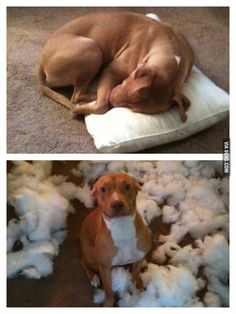 I only slept on the pillow for a minute . Source by mariaseibt dog dog memes dog videos videos wallpaper dog memes dog quotes dogs dogs pictures dogs videos puppies puppy video Funny Animal Jokes, Funny Dog Memes, Cute Funny Animals, Animal Memes, Cute Baby Animals, Funny Cute, Dog Humor, Super Funny, Animal Captions