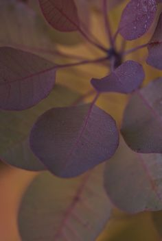 elemenop:  Smoke Bush by Doug_Hackett on Flickr.        One of my favorite plants