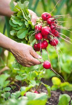 Vegetable Gardening Guru - How to Grow Vegetables Organically