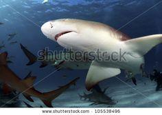 stock photo : Lemon Sharks  Photo by Greg Amptman
