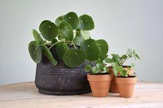De pannenkoekplant (Pilea Peperomioides) is een plant die je makkelijk kunt vermeerderen. In deze DIY handige tips voor het stekken van een pannenkoekplant.