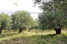 Plot of land for sale in Agios Stefanos North East Corfu-CPA 3617 From: www.cpacorfu.com/en/properties/3617 Corfu Island, Corfu Greece, Land For Sale, Country Roads, Plants, Plant, Planting