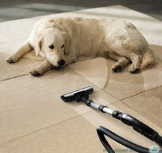 Photo about The dog lies on the beige carpet and looks at vacuum cleaner. Image of clean, layout, creative - 8494200 Home Remedies For Fleas, Flea Remedies, Dog Urine, Pet Odors, Steam Clean Carpet, How To Clean Carpet, Plush Carpet, Rugs On Carpet, Carpets