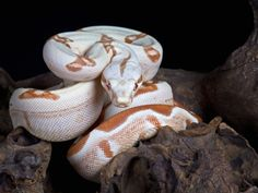 Albino Red-Tail Boa Constrictor (Boa Constrictor Constrictor), Captive by Michael Kern - @ Co. international Cats show & rettili > 😹 Boa Constrictor, Geckos, Red Tail Boa, Beautiful Snakes, Pretty Snakes, Pet Snake, Bird Poster, Young Animal, Backyard Birds