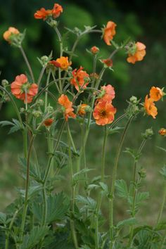 """Geum Totally Tangerine. Full sun to light or open shade. Regular water. H 2'6"""", W 1'. Blooms early summer-early fall ."""