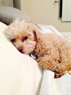 Baby toy poodle Amor puppy