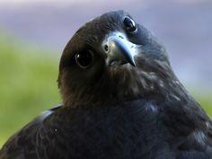 Black Gyr/Saker Falcon  Falconry, Falconer