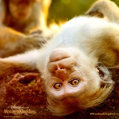 Real monkeys take their photos upside down. #MonkeyKingdom is now playing.  See the movie, make a difference now.