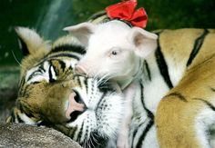 A piglet and a tiger snooze and snuggle at a zoo in Bangkok.