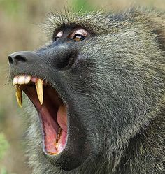 olive baboon, teeth mouth, weigh 55 lbs and stand 3 feet tall