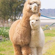 Cute Alpacas – Cute Animals a great example of a style pinsight from fellow pinner Cute Funny Animals, Cute Baby Animals, Animals And Pets, Nature Animals, Cute Small Animals, Smiling Animals, Wildlife Nature, Cutest Animals, Nature Nature