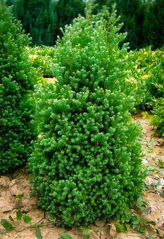 Red Star White Cypress Cypress Trees, Evergreen Trees, White Cedar, State Forest, Water Features In The Garden, Trees To Plant, Blue Green, Flora, Herbs