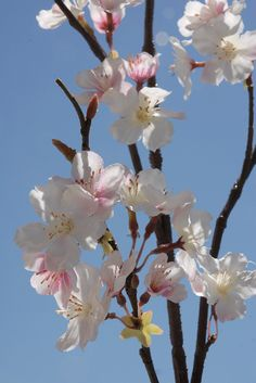 Silk Cherry Blossom Branches $7.99 each / 3 for $7 each - close up