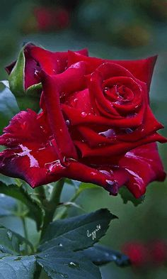Hybrid tea roses – Home Decor Gardening Flowers Beautiful Rose Flowers, Amazing Flowers, Beautiful Flowers, Flowers Nature, Planting Roses, Hybrid Tea Roses, Flower Wallpaper, Pink Roses, Flower Power