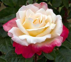 rosa letitia casta meilland